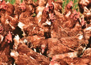 Ostrzeżenie przed ptasią grypą