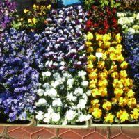 Sprzedam kwiaty - bratki